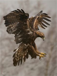 Golden magnificent life Eagle Pictures, Animal Pictures, Nature Animals, Animals And Pets, Wildlife Nature, Beautiful Birds, Animals Beautiful, Aigle Animal, Eagle Wallpaper