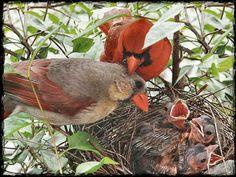 Cardinal Bird Family | Cardinal Family - Birds F1 - chet zajac, cardinal, avian, wildlife ...