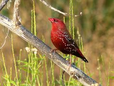 Red Avadavat (red munia)