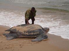 Huge Leatherback Sea turtle