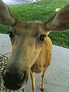 "Jane Doe, my ""pet deer"" . Colorado Springs, CO Pet Deer, Colorado Springs, Cow, Cute Animals, Pets, Pretty Animals, Cutest Animals, Cattle"