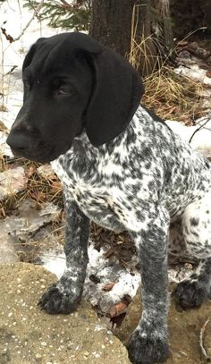 """Cole ~ German Shorthaired Pointer Pup ~ Classic """"Getting Famous"""" Look"""