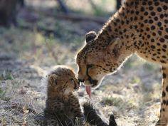 Pulizie materne Fotografia di Diana Lakeland Una femmina di ghepardo ripulisce il suo cucciolo dopo il pasto
