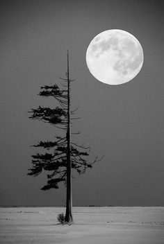 Pine on the snowy plain with full moon.