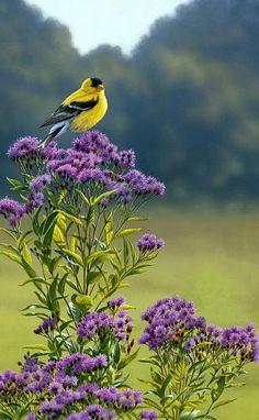 American goldfinch                                                                                                                                                                                 Más