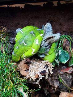 The Fall 2019 Wasatch Reptile Expo Recap — ReptiFiles' Top Rosy Boa, Emerald Tree Boa, Milk Snake, Great Basin, Corn Snake, Reptiles, Fall, Boas, Autumn
