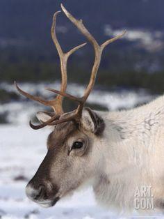 Real Reindeer, Reindeer Photo, Reindeer Antlers, Wild Animals Photography, Close Up Portraits, Animal 2, Christmas Animals, Animal Wallpaper, Winter Scenes