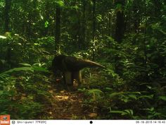 The Yasuni Trap Camera is a sharing Initiative to promote the conservation of the Amazon Rainforest with special interest in the Yasuni Biosphere Reserve.  Visitors at Shiripuno Lodge are donating Trap Cameras to create public awareness of this unique wilderness.  Help us share it!! #AmazonMammalWeek #AmazonBirdingWeek