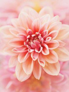 Pink Dalhia | Flickr - Photo Sharing!