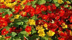 Jak správně pěstovat lichořeřišnici větší (Trapeoleum majus). Recepty, jak využít jedlé květy lichořeřišnice. Odrůdy lichořeřišnice. Jak a proč léčí Pergola, Vegetables, Flowers, Plants, Per Diem, Veggie Food, Flora, Vegetable Recipes, Royal Icing Flowers