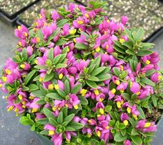 Show details for Polygala chamaebuxus var. Alpine Garden, Miniature Plants, Low Lights, Outdoor Rooms, Deep Purple, Garden Inspiration, Perennials, Flowers, Pink