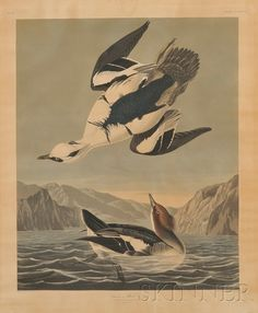 Audubon, John James (1785-1851), Smew or White Nun, plate CCCXLVII from The Birds of America, engraved, printed, and hand-colored by Robert Havell, London, with Whatman 1836 watermark, 28 1/2 x 23 3/4 in., (toned throughout and with brittle paper, 1-inch right marginal tear and 2-inch piece broken from upper edge, and waterstain lower left, trimmed).  Estimate $1,000-1,500 ~ sold for $1,422.