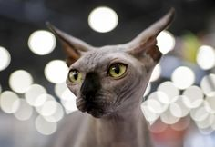 Novelty Cat Keyring If I had A Pound For Every Time My Sphynx Cat Made Me Smile