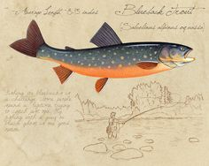 Blueback Trout - open edition print by Matt Patterson, fishing decor, blue trout print, natural history, cabin decor Trout Fishing Tips, Fly Fishing, Fishing Cart, Salmon Fishing, Fishing Tackle, Fauna Marina, Fish Drawings, Kunst Poster, Rustic Wall Art