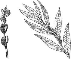 Tattoo ideas. Willow leaf