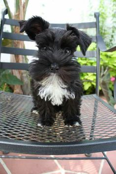 Determine additional information on Schnauzers. Take a look at our website. Determine additional information on Schnauzers. Take a look at our website. Baby Puppies, Cute Puppies, Cute Dogs, Dogs And Puppies, Doggies, Miniature Schnauzer Puppies, Schnauzer Puppy, Baby Animals, Cute Animals