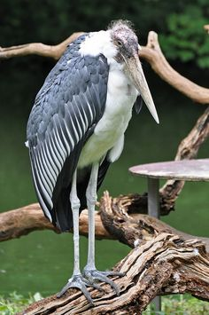 Marabou Stork... Afrikaanse maraboe (Leptoptilos crumeniferus) Kölner Zoo, Cologne, Germany Conservation status: Least concern