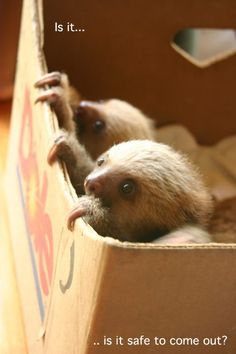 Sloths are very cautious.