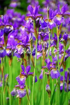 irises blooming