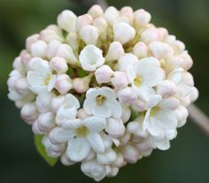 Viburnum x carlcephalum Domed clusters of fragrant, white flowers opening from pink buds in May and.....