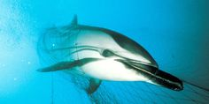 "Phase Out ""Walls of Death"" - Drift Gillnets that Kill Whales, Dophins and Other Bycatch 