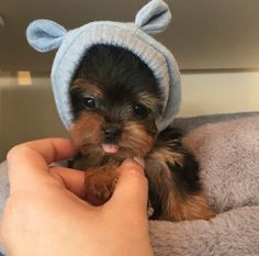 OMG, I want one. This is just the cutest Yorkie I've ever seen.!