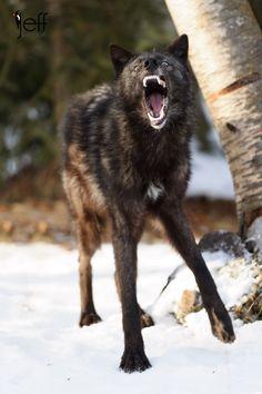Tundra Wolf - Canus Lupustundrarum