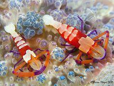 Emperor Shrimps (Periclimenes imperator)
