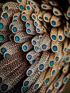 storyhearts-journey: Feathers of male Bornean Peacock Pheasant