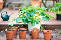 Har du ätit en jordgubbe och tänkt att den här skulle jag vilja odla? Det kan du, även om du inte vet vad den heter. Föröka den från fröerna som sitter på utsidan. Annars är snabbaste metoden att föröka jordgubbar från revor. Strawberry, Plants, Hem, Gardening, Lawn And Garden, Strawberry Fruit, Plant, Strawberries, Planets
