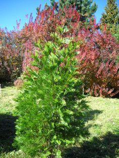 Calocedrus decurrens - California Incense Cedar (Juvinile)