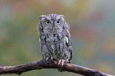 Eyes on U - A Screech owl on a perch.