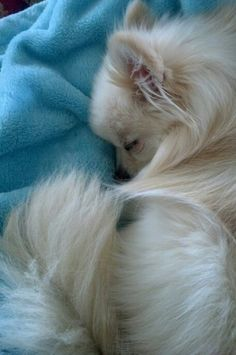 This sleeping Pomerian looks so lovely.  #puppied PP: Fifi is ni night...;) (my personal pin~Debbie)