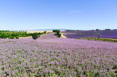 LVD08 - Champs de sauge sclarée et de lavandes à Valensole - Alpes de Haute Provence 04