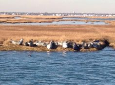 Seal Watching Long Island things to do Protect the animals Riverhead Foundation Seal Cruises discuss the biology of the seals sailing 1pm - 3pm Saturdays and Sundays call 631-369-9840 for more information. Sailing January thru April