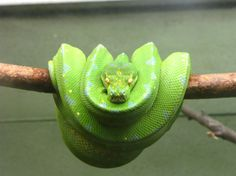Going Green, Snake edition, posted by Lilligrace Villota Cuanang, May 28, 2012