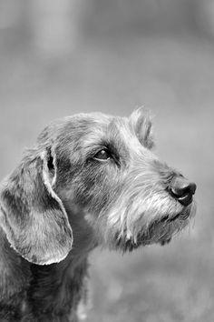 Vanhojen koirien ruokavaliossa pyritään välttämään tuotteita, jotka sisältävät vilja- ja maitotuotteita, soijaa tai maissia. Dogs, Animals, Animales, Animaux, Doggies, Animal, Animais, Dieren, Pet Dogs