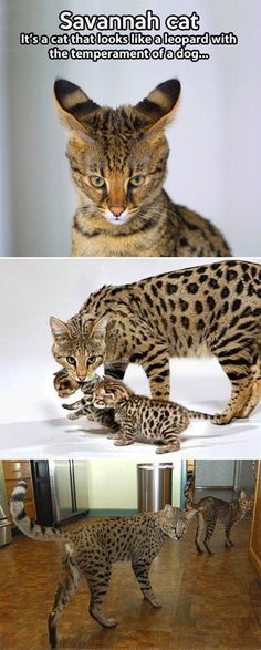 The Savannah cat. They are big and beautiful! - Savannah Cat - Ideas of Savannah Cat - The Savannah cat. They are big and beautiful! The post The Savannah cat. They are big and beautiful! appeared first on Cat Gig. Animals And Pets, Baby Animals, Funny Animals, Cute Animals, Wild Animals, I Love Cats, Crazy Cats, Cool Cats, Beautiful Cats