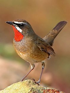 Siberian Rubythroat (Luscinia calliope). A chat that breeds in Asia and Eastern Europe. photo: phd white.