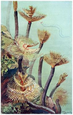 Tubeworms: Spirographis Spallanzani Paul Flanderky, from Brehms Tierleben (Brehm's animal life) first volume, under the direction of Alfred Edmund Brehm, Leipzig & Vienna, 1918. (Source: archive.org)