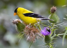 American Goldfinch on a thistle. Photo by Fredric D. Nisenholz. birdsandblooms.com