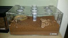 Aphnopelma chalcodes enclosure - tarantula
