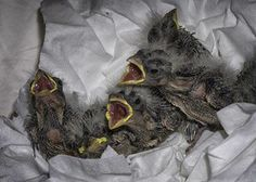 Chirp, chirp, baby birds are arriving at the Feed Barn in Jackson, CA.  Please sign up for a shift to feed, come by and attend class 4/26/14 at 10 a.m. This is a nest of 6 House Finches.