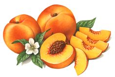 Watercolor illustration of two whole peaches, a cut peach half, cut peach slices and peach flower with leaves.
