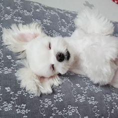 - - Follow @maltese.dog.love for more via @kevin.mom Love to tag? Please do! - #maltese #malteseofinstagram #maltesers #malteseofficial #maltese101 #malteselovers #maltesepuppy #maltesedog #maltesemix #maltesenation #maltesegram #malteseworld #malteseoftheday #malteseworld_feature #malteseterrier #maltesedogs #malteselife #malteseofig #malteses #maltesesofinstagram #maltesecross #malteseshitzu #malteseclub #maltese_thecute #maltesestagram #maltese_feature #malteseislands #maltese_101…