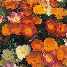 seedsavers- poppies