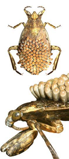 Abedus herberi carrying eggs on his back