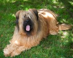 briard dog photo | Briard Dog: History, Temperament, Care, Training & more