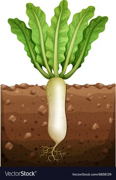 Radish plant under the ground Royalty Free Vector Image Fruit Crafts, Garden Mural, Fruits Drawing, Home Vegetable Garden, Kids Play Area, Montessori Materials, Spring Activities, Plant Growth, Banner Printing