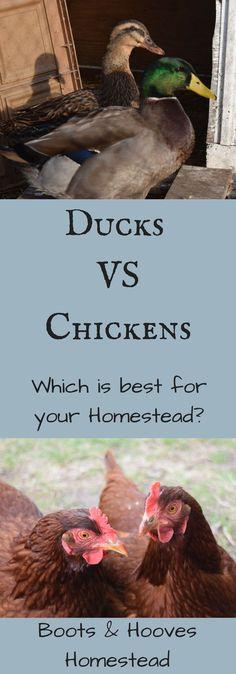Ducks VS Chickens